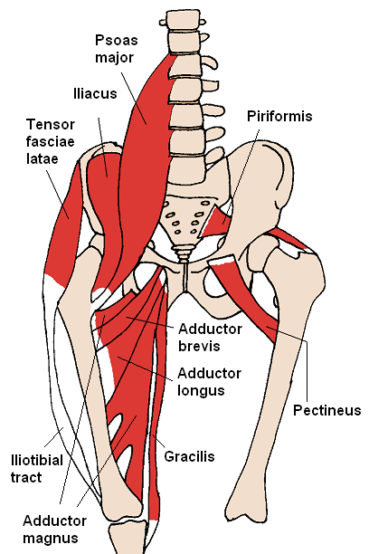 Anterior Hip Muscles 2 by Beth ohara.PNG